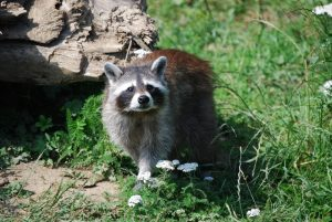 raccoon-1000383_960_720